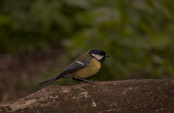 Great Tit Royalty Free Stock Images