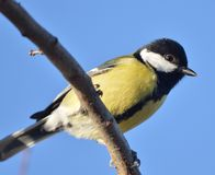 Great Tit in denmark Royalty Free Stock Photos