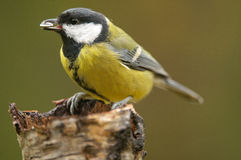 The Great Tit Royalty Free Stock Photos