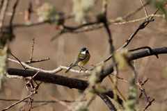 Great Tit. A great tit singing on a tree in winter stock image