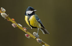 Great tit Stock Photography