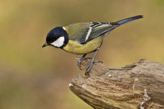 Free Great Tit Royalty Free Stock Images - 51470939