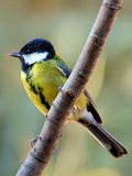 Great tit. On a branch. Species is Parus major royalty free stock photo