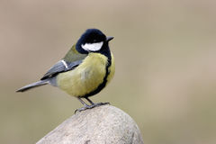 Free Great Tit Stock Photography - 6779732