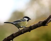 Great tit. Beautiful great tit on a branch Stock Image