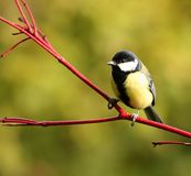 Great tit. Beautiful great tit on a red cornus branch Stock Images
