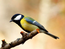 Great tit. On a branch getting ready to take off stock image