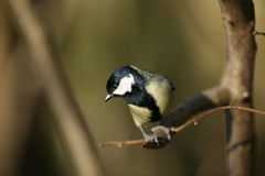 Great tit. A great tit on a perch.Out of focus background Stock Images