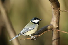 Great tit. A profile of a great tit on a perch Royalty Free Stock Photo