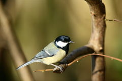 Great tit. A great tit on a perch.Out of focus background.Profile view Stock Images