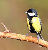 Great tit. A great tit in the sun, on a branch Stock Images