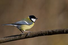 Great Tit. Posing with a nice background Royalty Free Stock Images