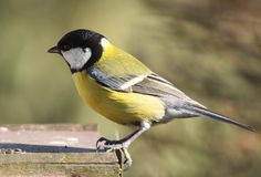 Great tit. In bird table Stock Image