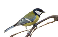 Great tit (aka parus major) Royalty Free Stock Photography