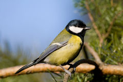 Great tit (aka parus major) Royalty Free Stock Image