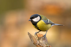 Great tit (aka parus major) on brown background Royalty Free Stock Image