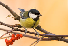 Great tit (aka parus major) on brown background Stock Image