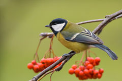 Great tit (aka parus major) on green background Stock Images