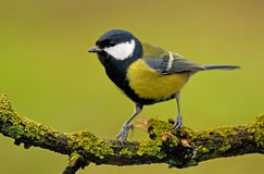 Great tit (aka parus major) on green background Stock Photography