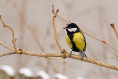 Great Tit (aka Parus Major) On Winter Day Royalty Free Stock Photo