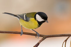 Great tit (aka parus major) on winter day Royalty Free Stock Images