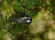 Great tit amongst pine cones stock images