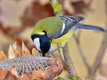 Great Tit And Its Sunflower Royalty Free Stock Photos