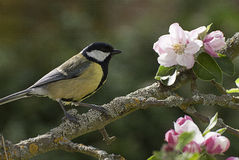 Great Tit on apple tree in blossom. Great tit perched on an apple tree branch in springtime with pink blossom flowers and green leaves royalty free stock photos