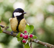 Great Tit on apple tree in spring. Great tit perched on an apple tree branch in springtime with red blossom buds and green leaves stock photo