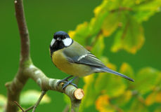 Free Great Tit Autumn Colors Stock Images - 7928374