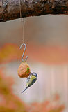 The Great Tit in autumn - fall Royalty Free Stock Photography