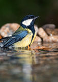 Great tit bathing Stock Image