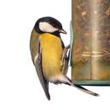 Great tit bird Stock Image