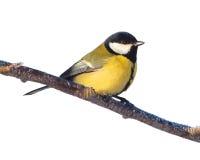 Great tit bird Stock Images