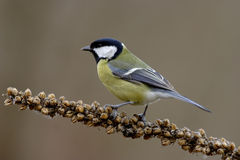 Great tit bird Stock Images