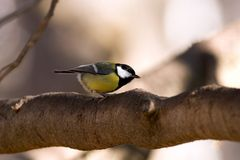 Great Tit bird. Side view of Great Tit bird on branch of tree Royalty Free Stock Photos