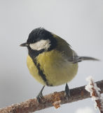 Great Tit bird Royalty Free Stock Images