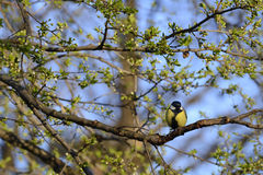Great tit bird on branch Stock Photos