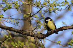 Great tit bird on branch Stock Images