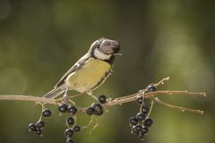 Great tit with a bird disease. Great tit having a bird disease Stock Photo