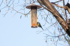 Great tit on bird feeder on tree winter time. Great tit on bird feeder on tree winter bird feeding Stock Photography