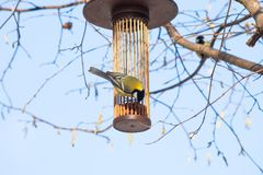 Great tit on bird feeder on tree winter time. Great tit on bird feeder on tree winter bird feeding Stock Photo