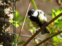 Male Great Tit at Bird Feeder - Parus major Royalty Free Stock Images