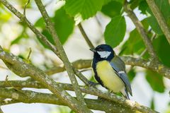 Free Great Tit Bird Parus Major Sitting In Green Leaves Stock Photos - 161078673