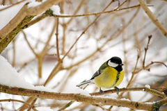 The Great tit bird perching on a tree branch Royalty Free Stock Photo
