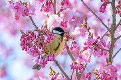 Great tit bird in a pink flowering cherry tree royalty free stock image