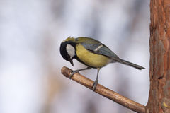 Great tit bird sits on tree branch in the forest. Great tit bird sits on pine tree branch in the forest Royalty Free Stock Photo