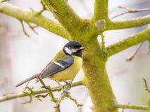 Great tit bird sitting in tree Stock Photos