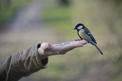 Great tit bird standing on human hand Stock Image