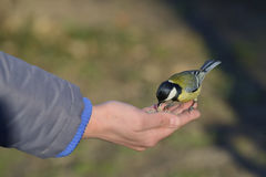 Great tit bird standing on human hand Royalty Free Stock Photo